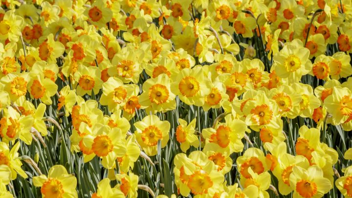 Daffodils and special bulb show