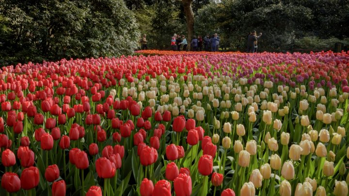 Keukenhof closes successful virtual season