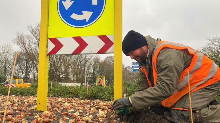 Keukenhof plant duizenden bloembollen op rotondes in Lisse