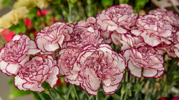 Carnation and Summer flowers show
