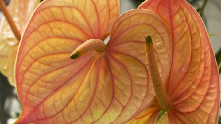 Anthurium and Orchid Show