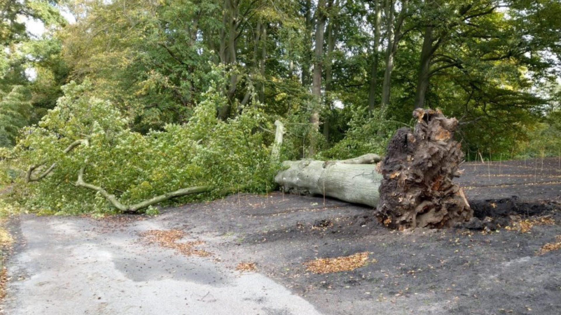 Monumental beech collapsed at Keukenhof