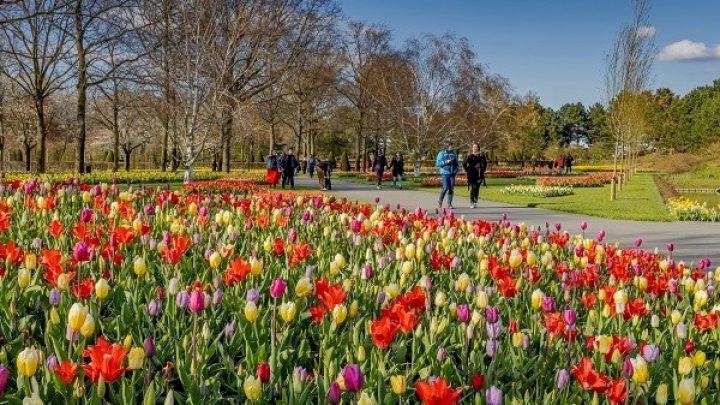 Keukenhof is closed; in full bloom but no visitors